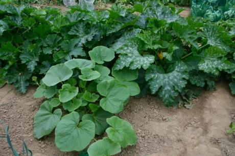 Kürbis und Zucchinis